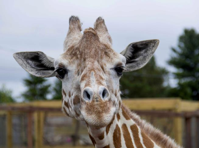 Farewell to Giraffe Who Became YouTube Star