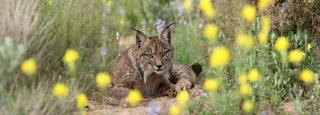 Rare Lynx Cubs Born in Spain