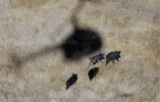 Shooting Wild Pigs From Helicopters Won't Work