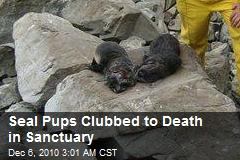 Seal Pups Clubbed to Death in Sanctuary