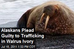 Alaskans Plead Guilty to Trafficking in Walrus Ivory