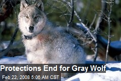 Protections End for Gray Wolf
