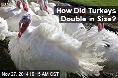 How Did Turkeys Double in Size?
