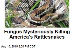 Fungus Mysteriously Killing America's Rattlesnakes