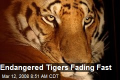 Endangered Tigers Fading Fast