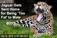 Jaguar Gets Sent Home for Being 'Too Fat' to Mate