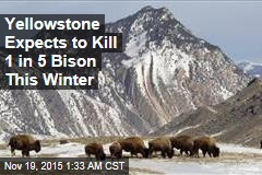 Yellowstone Expects to Kill 1 in 5 Bison This Winter
