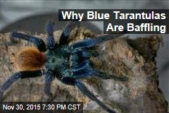Blue Tarantulas Baffle Scientists