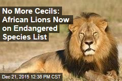 No More Cecils: African Lions Now on Endangered Species List