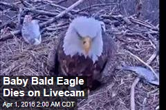Baby Bald Eagle Dies on LiveCam