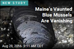 Maine's Vaunted Blue Mussels Are Vanishing