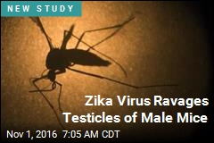 Zika Virus Ravages Testicles of Male Mice