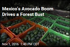 Mexico's Avocado Boom Drives a Forest Bust