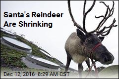 Santa's Reindeer Are Shrinking