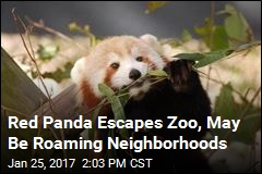 A Red Panda Is on the Lam in Virginia