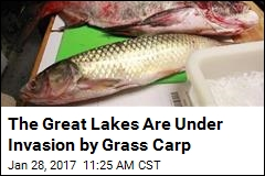 Study Says Grass Carp Have Invaded 3 of the Great Lakes