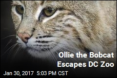 Ollie the Bobcat Escapes DC Zoo