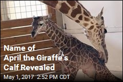 Name of April the Giraffe's Calf Revealed