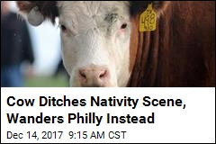 Away From the Manger: Cow Escapes Nativity Scene, Twice