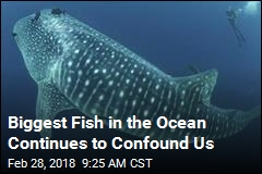 Biggest Fish in the Ocean Continues to Confound Us