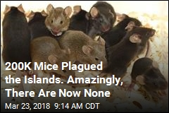 200K Mice Plagued the Islands. Amazingly, There Are Now None
