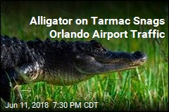 Spirit Airlines Flight Delayed by Alligator on Tarmac