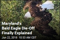 Maryland's Bald Eagle Die-Off Finally Explained