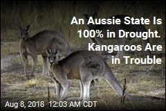 Kangaroo-Killing Restrictions Lifted as Drought Accelerates