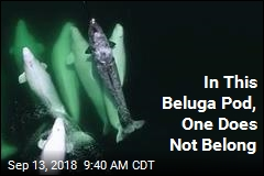 In This Beluga Pod, One Does Not Belong