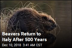Beavers Return to Italy After 500 Years
