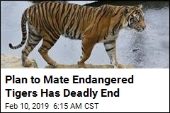 Plan to Mate Endangered Tigers Has Deadly End