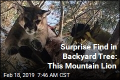 Surprise Find in Backyard Tree: This Mountain Lion