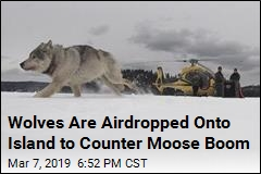 Wolves Are Airdropped Onto Island to Counter Moose Boom