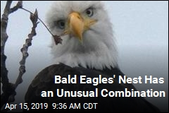 Bald Eagles' Nest Has an Unusual Combination