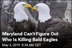 Someone Is Killing Bald Eagles, Probably by Accident