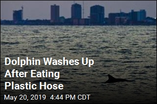 Dolphin Washes Up After Eating Plastic Hose