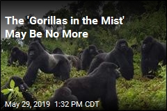 The 'Gorillas in the Mist' May Be No More