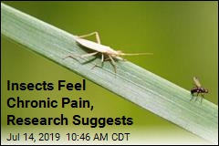 Insects Feel Chronic Pain After Injury: Research
