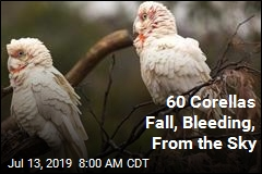 60 Corellas Fall, Bleeding, From the Sky