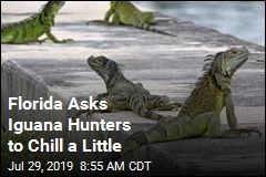 Florida Asks Iguana Hunters to Chill a Little