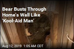 Bear Breaks Through Wall Like 'Kool-Aid Man'