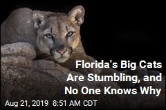 There's a Problem With Florida's Big Cats