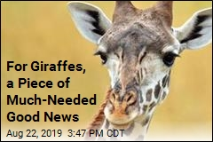 Nations Worldwide Make Major Move on Giraffes