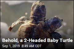 Group Finds 2-Headed Baby Turtle