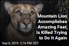 Mountain Lion Accomplishes Amazing Feat, Is Killed Trying to Do It Again