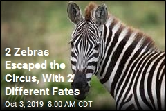 2 Zebras Escaped the Circus, With 2 Different Fates