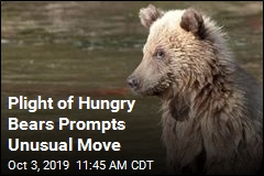 Plight of Hungry Bears Prompts Unusual Move