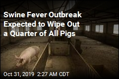 Scientists: Fever Outbreak Is Going to Kill 25% of All Pigs