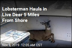 Lobsterman Hauls in Live Deer 5 Miles From Shore