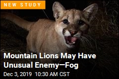 Mountain Lions May Have Unusual Enemy—Fog